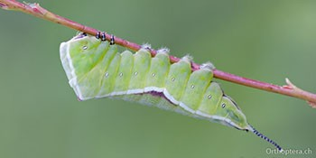 Internationale Insekten- und Spinnentierbörse