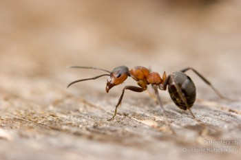 EGZ-Bestimmungskurs für Einsteiger: Ameisen