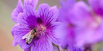 Honigbiene – Teil unserer Biodiversität!