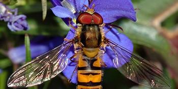 Bestimmungskurs: Schwebfliegen (Syrphidae)